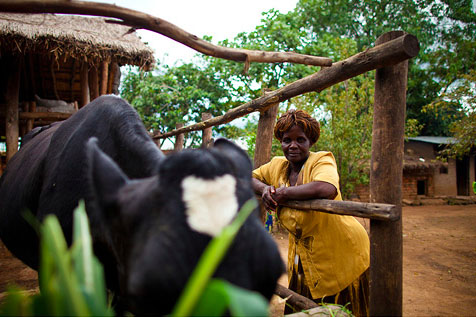 One cow can make all the difference in Malawi