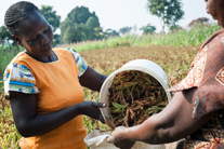 A bumper harvest of millet for Anne in Kenya!