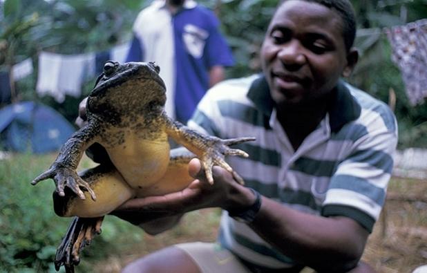 African-Goliath-Frog